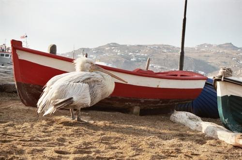 Pelican, Mykonos