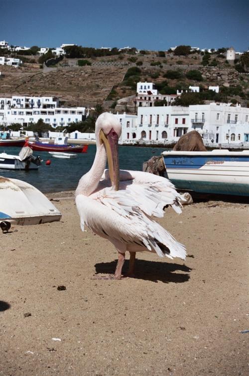 Petros the Pelican, Mykonos Town, Mykonos